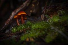 Svampar Tasmanien Arkivfoto