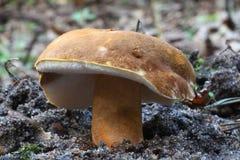 Svampchampinjon på jordskogen Arkivbild