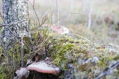 Svampen är en parasit på trädet Arkivbild