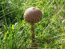 Svampen växer i gräset Royaltyfri Foto