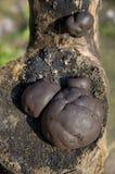 svampjättepuffball Arkivbild