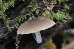 svamppluteusthomsonii Royaltyfria Bilder