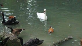 Svanänder och gås på vattnet arkivfilmer