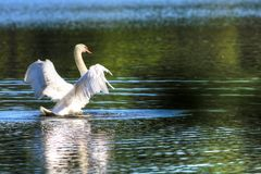Svan av sjön Junaluska North Carolina Fotografering för Bildbyråer