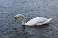 Svan - fågel - natur - Cygnus - vatten - sjö Royaltyfri Foto