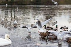 Svan & fåglar i en djupfryst sjö i vintern Fotografering för Bildbyråer