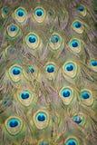 svan för 5 påfågel arkivbild