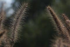 svan för hundgräs s Royaltyfri Foto