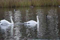 Svan för två vit i sjön royaltyfri fotografi