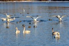Svan fluga för fåglar för vinter för sjökamp royaltyfria foton