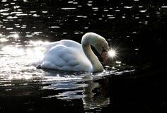 Svan i dammet med ett glimtöga fotografering för bildbyråer