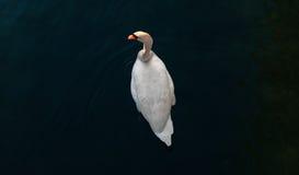 Svan i den Ticino floden, Sesto Calende, Italien Arkivfoton