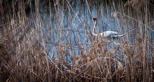 Svan i rottingen som simmar svanar på sjön arkivfoton