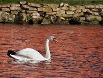 Svan i sjön Royaltyfri Fotografi