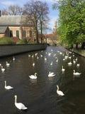 Svan i sjön brugge Belgien Arkivbilder
