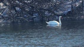 Svan med alger i näbb Fågeln simmar nära den snö täckte flodbanken stock video
