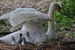 Svan med fyra fågelungar Fotografering för Bildbyråer