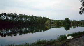Svan med sjön på skymning royaltyfria bilder