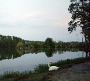 Svan med sjön på skymning royaltyfri fotografi