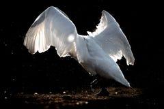 Svan med spridd stämpling för vingar Arkivfoton