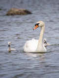 Svan och fågelungar Fotografering för Bildbyråer