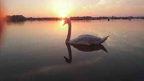 Svan och soluppgång Fotografering för Bildbyråer