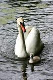 Svan och ung svan royaltyfria bilder