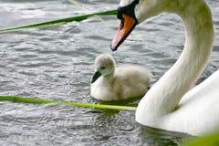 Svan och ung svan royaltyfri bild