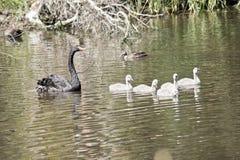 Svan och 5 unga svanar arkivbilder