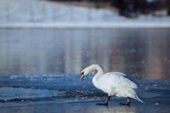 Svan på is av sjön Royaltyfria Bilder