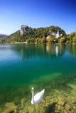 Svan på Bled sjön, Slovenien Fotografering för Bildbyråer