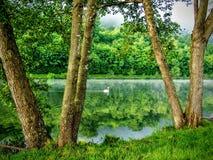 Svan på de reflekterande träden för Moselle flod av vattensolnedgången nära den Toul Frankrike tältplatsen Fotografering för Bildbyråer
