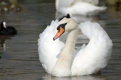 Svan på den Abbotsbury swanneryen Royaltyfri Bild