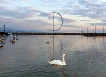 Svan på Genève sjön i Lausanne, Schweiz arkivfoton