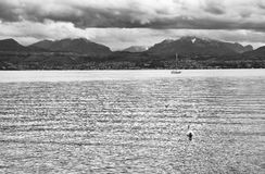Svan på Leman Lake - Genève sjö Arkivbilder