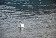 Svan på sjön Arkivbilder