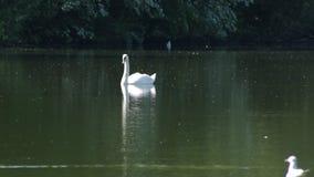 Svan på sjön arkivfilmer
