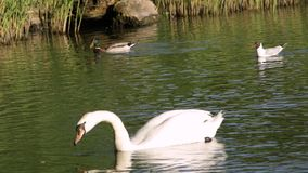 Svan på sjön lager videofilmer