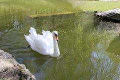 Svan på sjön Royaltyfri Foto