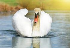 Svan på sjön royaltyfri fotografi