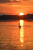Svan på sjön Royaltyfria Foton