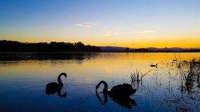 Svan Serene Sunset arkivfoton