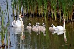 Svan sjö i den norr Bosnien royaltyfri fotografi