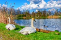 Svan sjö på Innsbruck Österrike fotografering för bildbyråer