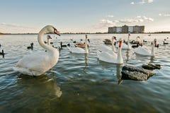 Svan sjön Arkivfoto