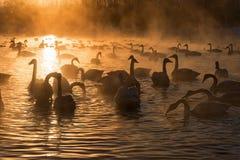 Svan solnedgång för vinter för sjömist Fotografering för Bildbyråer