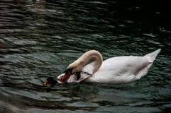 Svan som anfaller den lilla anden på en sjö arkivfoto