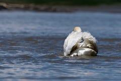 Svan som bort simmar Royaltyfri Fotografi