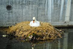 Svan som bygga bo på en stadskanal/ett stads- djurliv Royaltyfri Bild