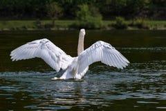 Svan som flyger över floden Arkivbild